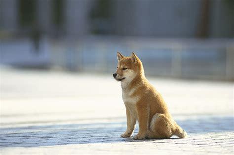 Shiba Inu Puppies   Dogtime