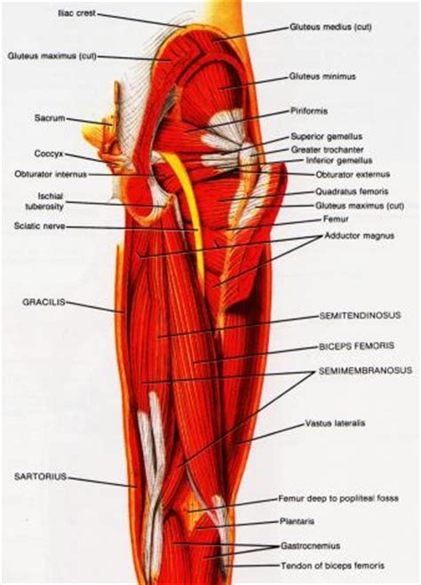 hamstring muscles diagram exercices for hamstring and injury treatment