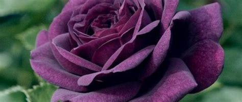 wallpaper bunga berwarna ungu gambar kelas ii sd bahasa indonesia tri novia 40 cinta
