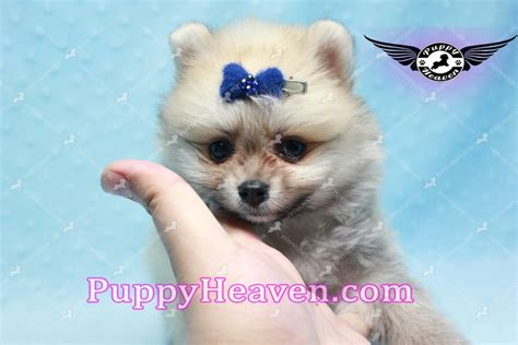 king pomeranian king of hearts teacup pomeranian puppy adopted puppies available puppies