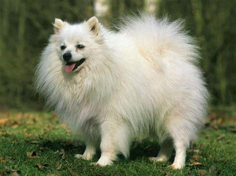 loulou pomeranian spitz allemand chien et chiot german spitz spitz loup keeshond pomeranian