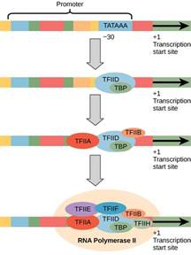 where in a eukaryotic cell does translation occur eukaryotic transcription boundless biology