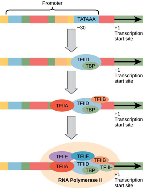 Where In A Eukaryotic Cell Does Translation Occur by Eukaryotic Transcription Boundless Biology