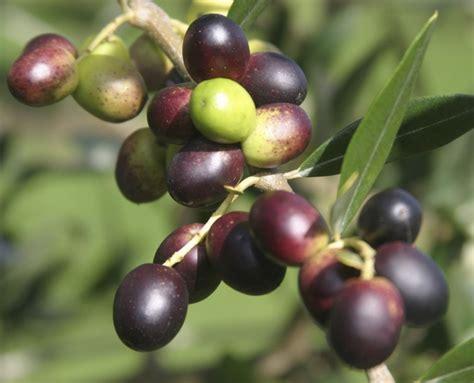 Minyak Zaitun Termahal infokutopjozzz buah zaitun buah tin misteri bukit