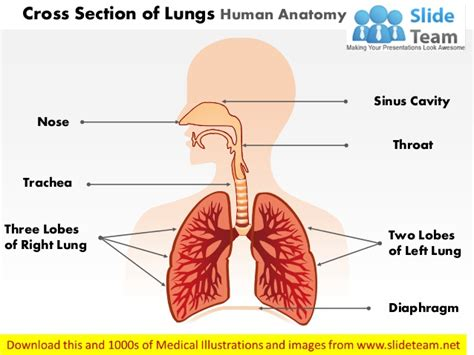 cross section of lung cross section of lungs human anatomy medical images for