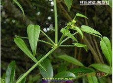 多年生蔓性草本植物,生長在中低海拔山區林緣。 .txt