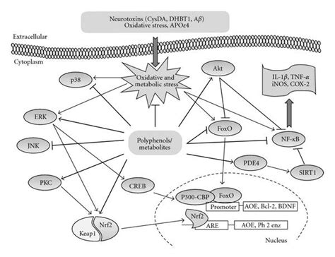 stress biology of cyanobacteria molecular mechanisms to cellular responses books dietary polyphenols as modulators of brain functions