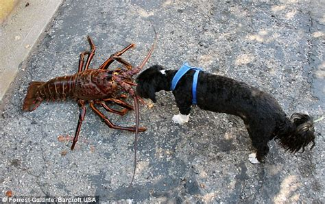 can dogs eat lobster diver catches 12lb lobster reckoned to be seventy years daily mail