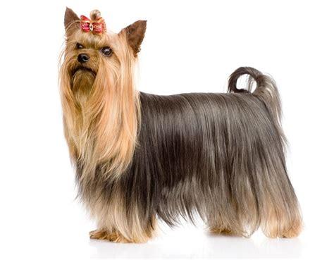 corte pelo yorkshire terrier 10 tipos de corte de pelo para un yorkshire terrier
