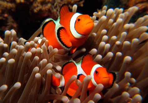 la chachipedia el pez payaso apexwallpaperscom galer 237 a de im 225 genes pez payaso