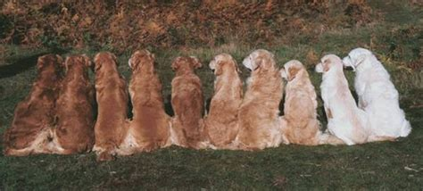 golden journey retrievers acquiring a golden retriever golden retriever club singapore
