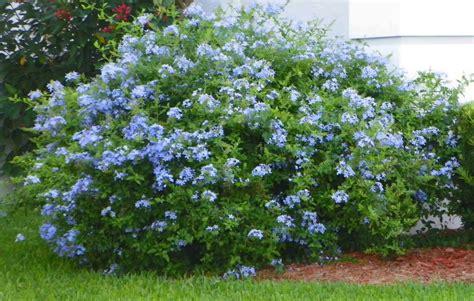 blue flowering shrubs in florida plumbago plumbago auriculata low maintenance heavy
