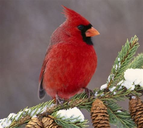 cardinals and blue jays how to attract them to your garden