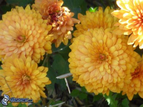 fiori crisantemi crisantemi