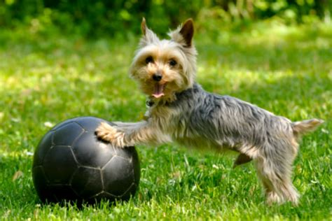 how to teach a yorkie to roll teach your to roll a with his nose american kennel club