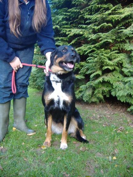 border collie x rottweiler lulu 3 year border collie cross rottweiler for adoption