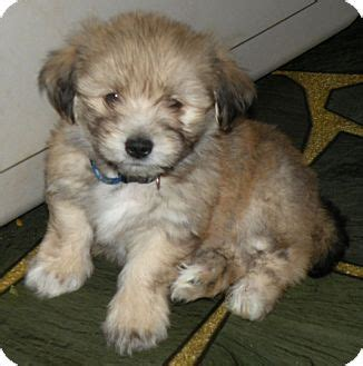 havanese rescue illinois gus adopted puppy belvidere il havanese shih tzu mix