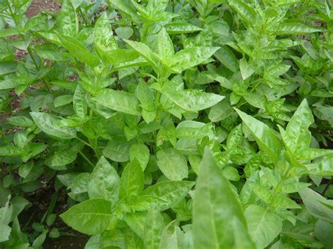 imagenes de mujeres cortando hierba alternativa ecol 211 gica principales hierbas arom 193 ticas y