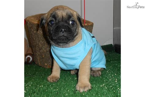 pug breeders near chicago pug puppies for sale in chicago illinois breeds picture