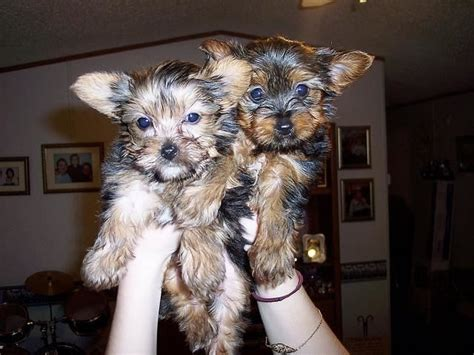 teacup yorkie breeders in arkansas teacup yorkie puppies for an adorable animals cabot arkansas announcement 29761