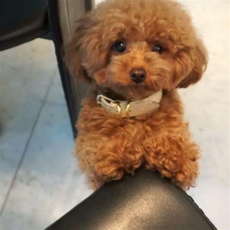 ginger doodle 15 best images about poodle on pinterest poodles dog