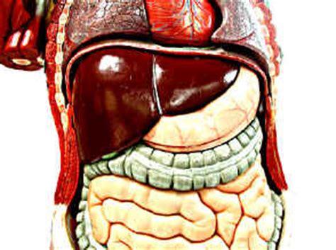 organi interni corpo umano lato destro palpazione e percussione dell addome