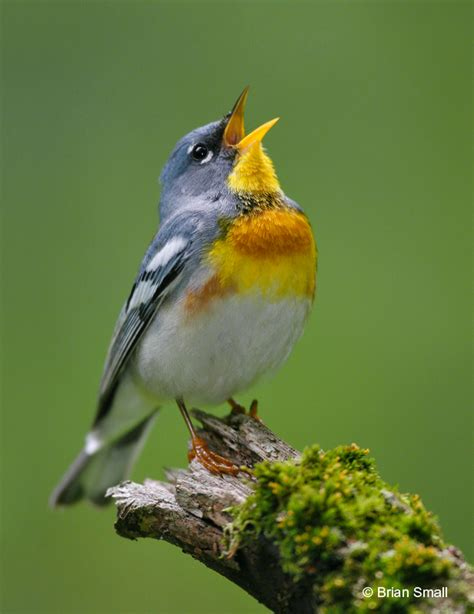 which birds that sing in the morning birding cup 2012 and non avian friends standingoutinmyfield