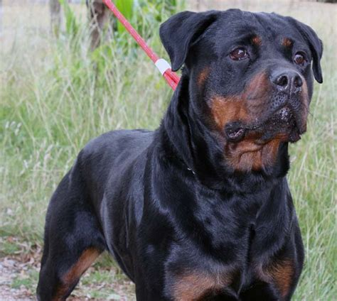 rottweiler mating pictures of rottweilers breeds picture