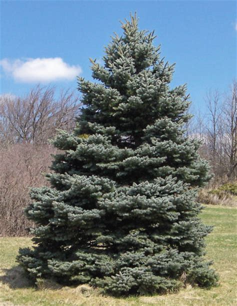 canadian spruce tree blue spruce pine family evergreen tree in hamilton