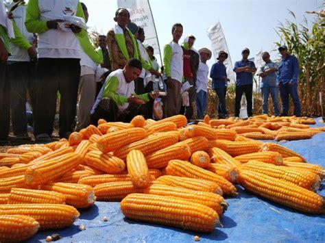 Benih Jagung Lokal monsanto dorong petani gunakan benih jagung unggulan dan toleran bulai agribisnis