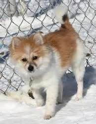 pomeranian shiba inu 86 best images about pup s on chow chow golden retriever mix and labrador
