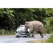 Khao Yai National Park Elephants Attacking Cars  GrindTVcom