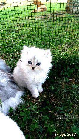 gatti persiani chinchilla persiani chinchilla posot class