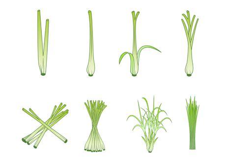 vector free free lemongrass vector free vector stock