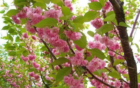 cherry kwanzan flowering creekside tree nursery