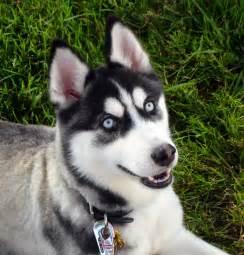 belgian sheepdog weight happy siberian husky dog photo and wallpaper beautiful