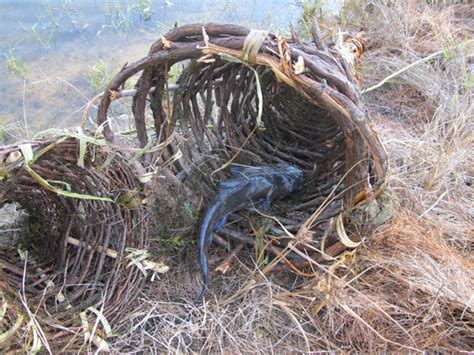 diy fish trap how to make a primitive funnel fish trap that keeps on