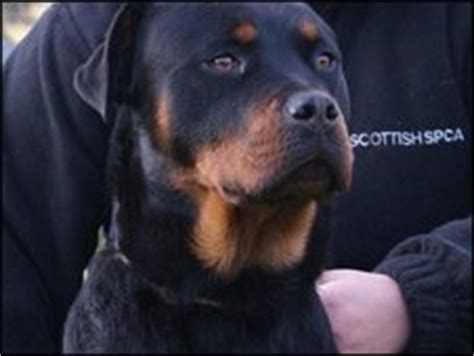 rottweiler puppies scotland news uk scotland tayside and central rottweiler and dead puppies found
