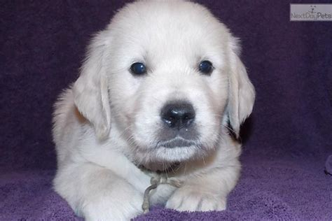 golden retriever with blue akc golden retriever puppies golden retriever for sale breeds picture