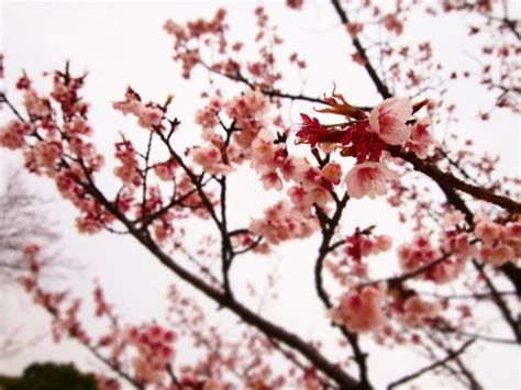 diffe types of cherry blossom trees 4k wallpapers