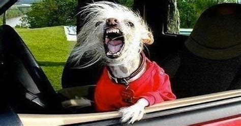 Dog Driving Meme - a definitive list of 20 cities with the worst commutes