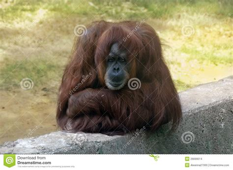 sad orangutan stock images image