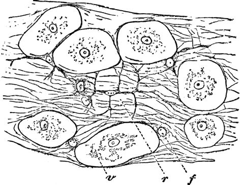 Areolar Connective Tissue Drawing