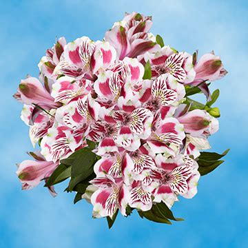 alstroemeria colors gorgeous select bi color alstroemeria flowers