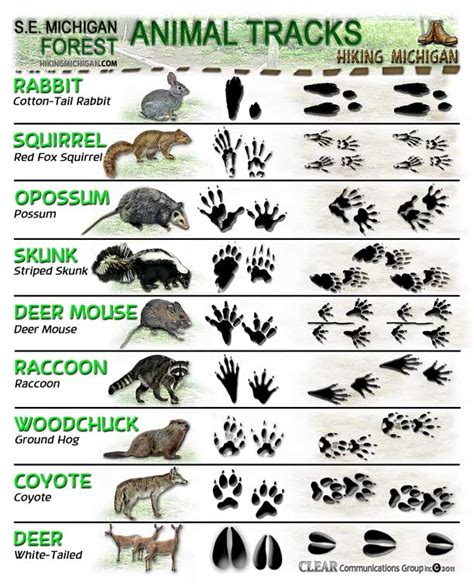 printable animal tracks identification latest animal tracks id sheets hiking michigan