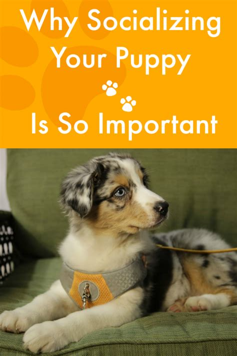 socializing puppies why socializing your puppy is so important talent hounds