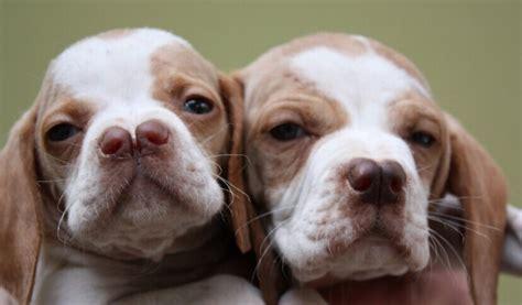 rare dog breeds puppies top 10 rare dog breeds enkivillage