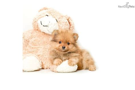 teacup teddy puppies micro tiny teacup teddy puppies breeds picture