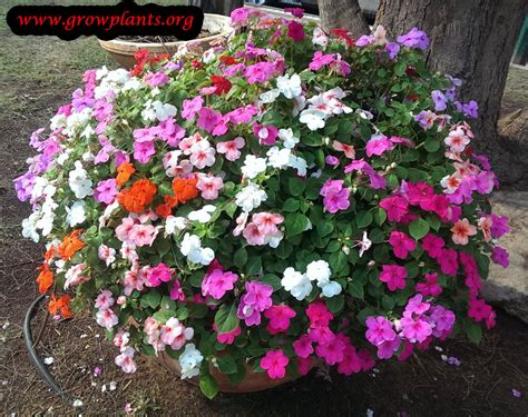 new guinea impatiens growing grow plants