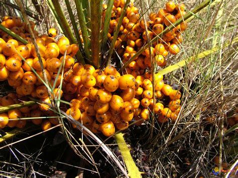 fruit d un palmier photo palmier en fruits chaemerops excelsia